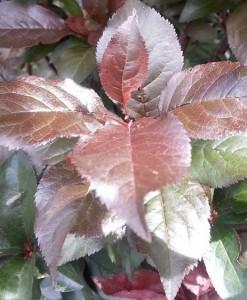 prunus nigra fastigiata foliage