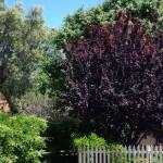 prunus-nigra