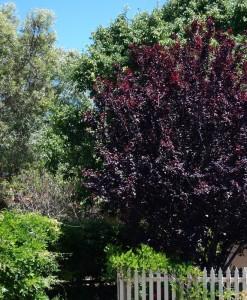 Prunus nigra Flowering Plum in the Garden