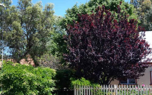 Deciduous trees for smaller urban gardens lakeside plants nursery nigra is an ornamental small tree with a deep burgundy purpley foliage that emerges in spring with spectacular pink blossoms mightylinksfo