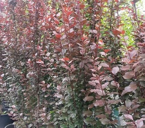 prunus-nigra-fastigiata
