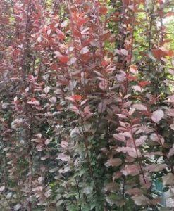 prunus nigra fastigiata