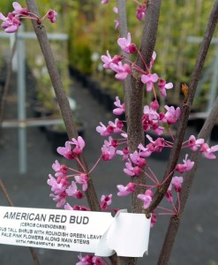 American Red Bud Cercis Canendensis Blossoms