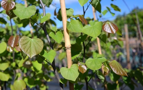American Red Bud Cercis Canendensis Foliage