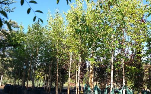 Deciduous trees for smaller urban gardens lakeside for Silver birch trees for small gardens