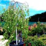 weeping-silver-birch