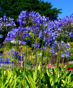 agapanthus in nursery