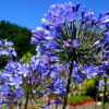agapanthus blue flower