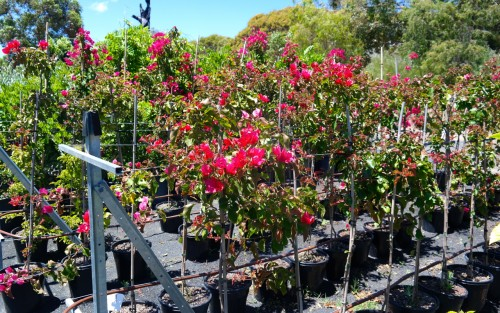 Bougainvillea standards