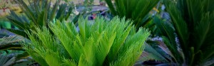 plants that love summer cycad revoluta