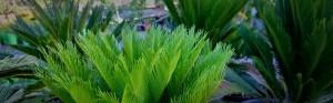 plants that love summer cycad revoluta