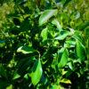 ficus microcarpa hillii foliage