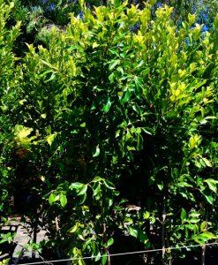 Ficus microcarpa hilli