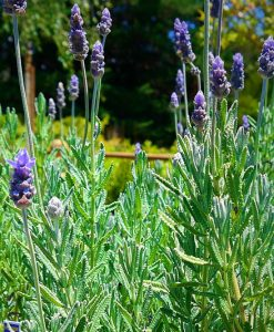 Lavendula Dentata French Lavender