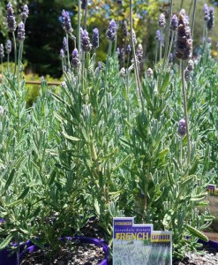 French Lavender Lavendula dentata