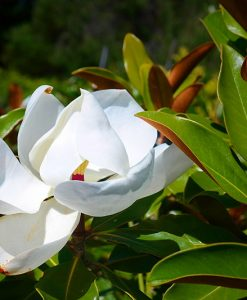 magnolia LIttle Gem Rock Dust