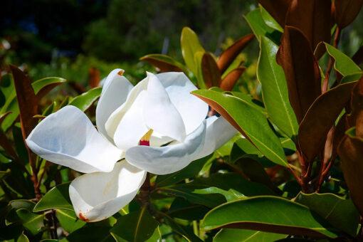 magnolia LIttle Gem Rock Dust