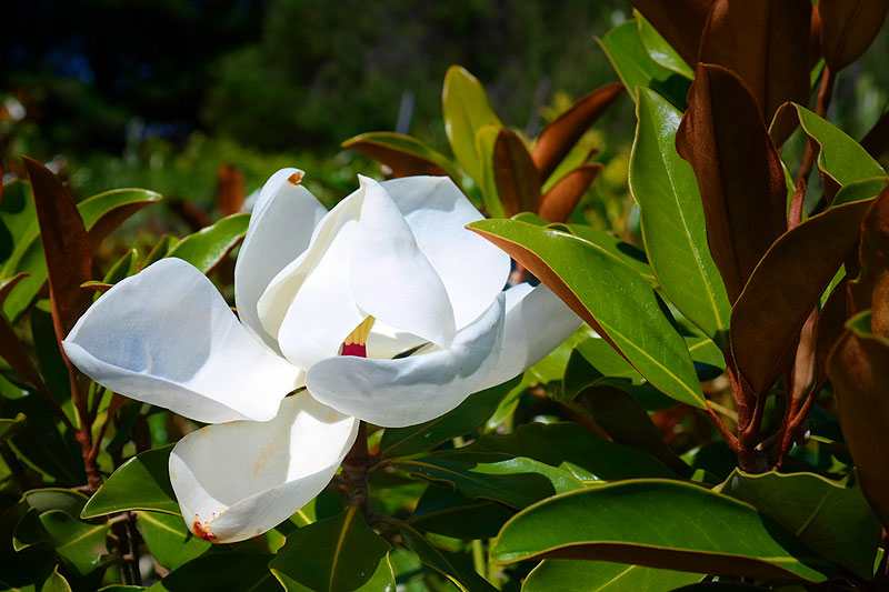 Magnolia Little Gem Lakeside Plants Nursery