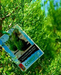 Rottnest island pine Callitris preisii