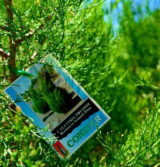 rottnest-island-pine