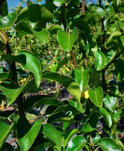 Manchurian Pear Pyrus ussuriensis