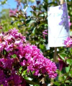 Lagerstroemia Crepe Myrtle Zuni