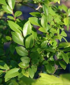 Chinese Elm Foliage Ulmus Parvifolia