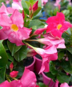 dipladenia pink flowers