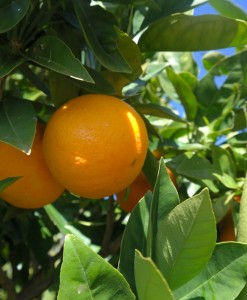 Washington Navel Orange Fruit