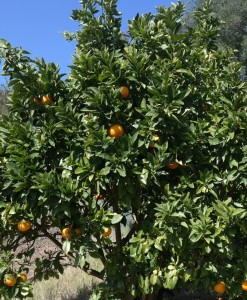 orange tree washington navel