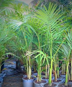Bangalow Palms 25cm pots