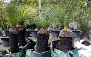 Grass trees medium single