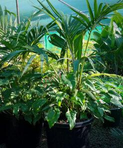Bangalow Palm Xanadu Patio Planter
