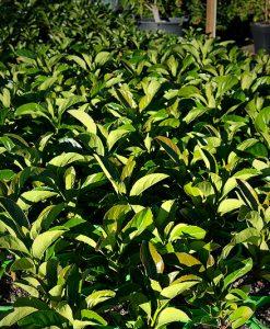 Viburnum Emerald Lustre Pots