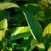 Viburnum Emerald Lustre Foliage