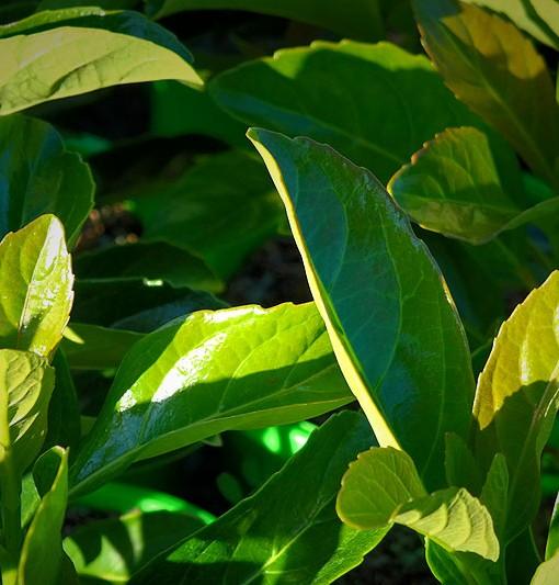 viburnum-emerald-lustre-foliage