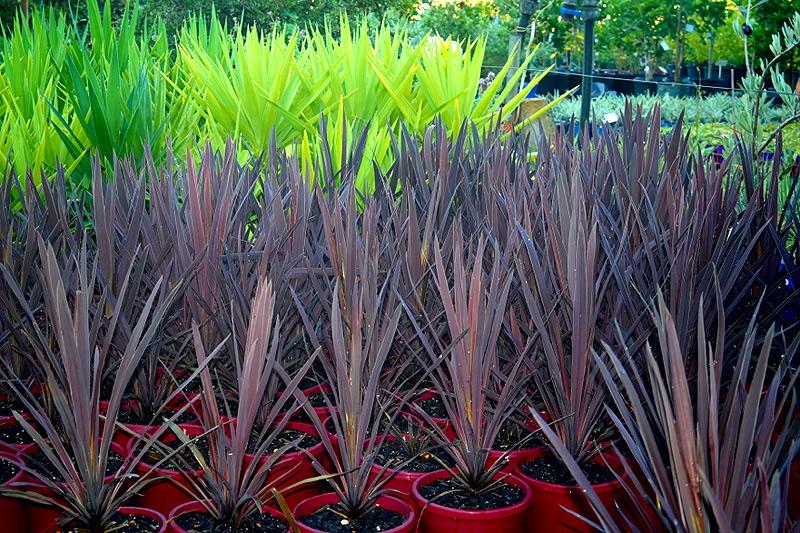 Cordyline Red Sensation Lakeside Plants Amp Nursery