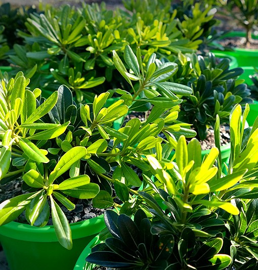 pittosporum-wheelers-dwarf