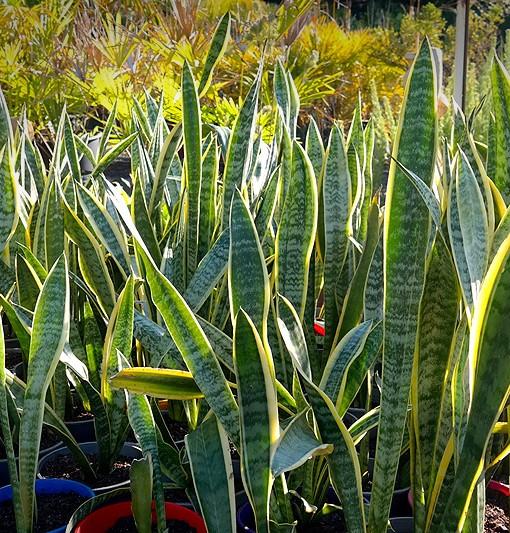 sansevieria-plants-pots