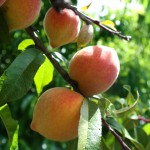 peach tree fruit