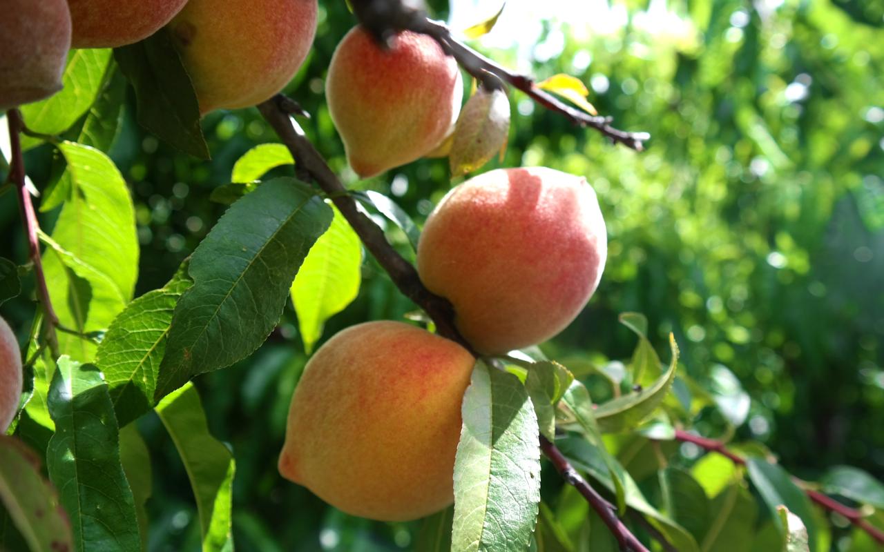 Fruit Trees Archives Lakeside Plants Amp Nursery