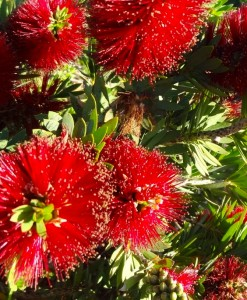 Callistemon Little John