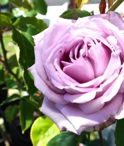 blue-moon-rose