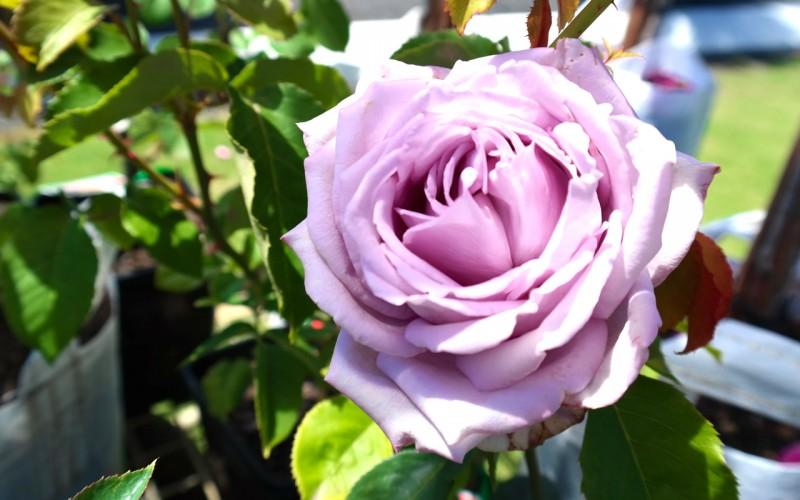 Rose Blue Moon Lakeside Plants Amp Nursery