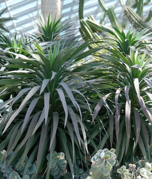 yucca-desmetiana