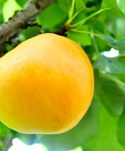Apricot Trevatt