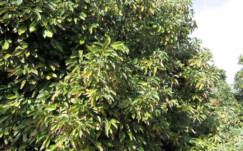 avocado orchard tree