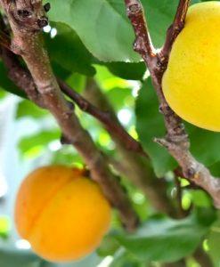 apricot newcastle