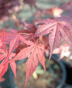 Japanese Maple Red