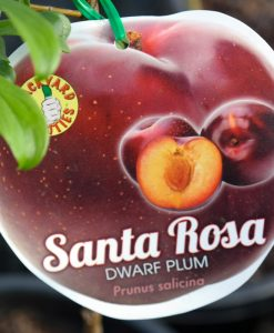 Plum Santa Rosa Dwarf